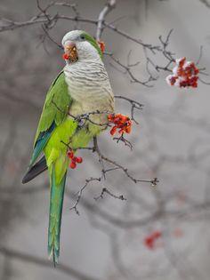 Monk parakeet (Myiopsitta monachus) | Santiago, Chile; Montevideo, Uruguay; Buenos Aires, Argentina; Parque del Retiro, Madrid