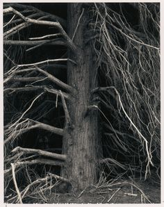 Ansel Adams - Tree, Point Arena, California, 1960, Black and white instant print