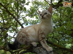 Snow F6A Savannah Kitten