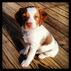 Brittany Spaniel - Lucy