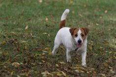 Jack Russell terrier#Dogs#Lilly (Jack Beauty kennel)