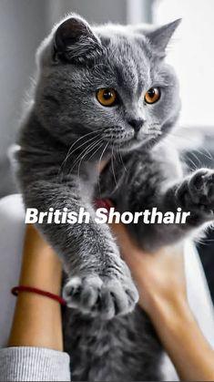 Cute Baby Cats, Kittens Cutest, Cats And Kittens, Funny Animal Videos, Funny Animals, Cute Animals, Munchkin Kitten, British Shorthair Kittens, Cat Aesthetic