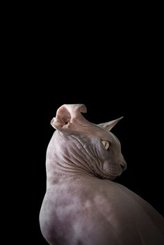 For Disturbing Beauty of Sphynx Cats, osos Angeles-based animal photographer Alícia Rius examines the beguiling contours of the hairless cat, capturing the paradoxical marriage of elegance and peculiarity inherent in each feline figure. Chat Sphynx, Sphynx Cat, Hairless Cats, Elf Cat, Pet Allergies, F2 Savannah Cat, Cats For Sale, Unique Cats, Cat Photography