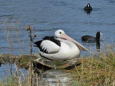 Australian Pelican - Yerrabi Pond, ACT