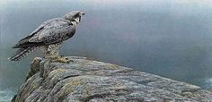 Robert Bateman Ready For Flight Peregrine Falcon
