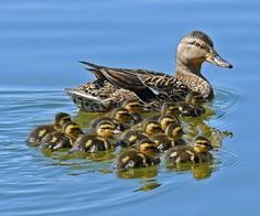 Every spring, we have 3-4 pairs of ducks that return to our pond...