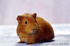 Short-coated Guinea Pig/American Guinea Pig/English Guinea Pig