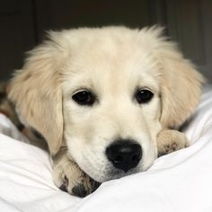Hi Reddit meet Dug! Hes a 3 month old English Cream Golden who loves chicken tuna snow and cashmere sweaters. http://ift.tt/2puVeOO