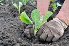 Sadenie mrkvy, hrachu, fazuľe, cibule či kalerábu – kedy a ako Garden, Green