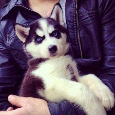 Sweet, blue-eyed Siberian Husky puppy face!