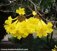 GOLDEN TRUMPET TREE (Tabebuia chrysotricha) ~ Generally planted as a showy ornamental, mainly for the bright yellow flowers which cover the tree in Spring ~ Native of Brazil
