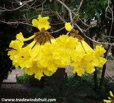 Golden Trumpet Tree - Tabebuia chrysotricha