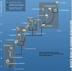 """In """"Who's Who in Human Evolution"""" students follow hominins from the earliest species, right up to present day in this interactive genetic tree."""