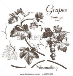 Winemaking 2. Hand drawn illustrations with grapes and leaves on a white background. Ink pen picture in vector