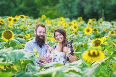 maryland sunflower field wedding engagement session