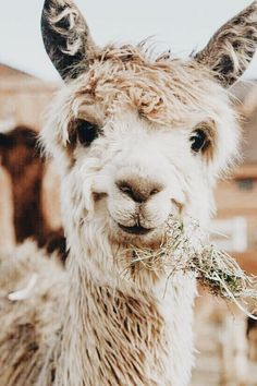 linda welpen hunde suse tiere t shirt designs tiere animals wild ani - The world's most private search engine Amazing Animals, Animals Beautiful, Beautiful Creatures, Alpacas, Cute Little Animals, Cute Funny Animals, Cute Wild Animals, Happy Animals, Cute Animal Photos