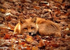 Immagine di fox, autumn, and fall