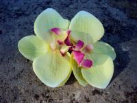 BARRETTE CHEVEUX double FLEURON ORCHIDEE fleurs artificielles lime cerise