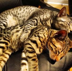 Nylah and Bamboo - PvP cats