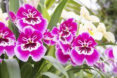 Miltoniopsis Hot Pink Orchids