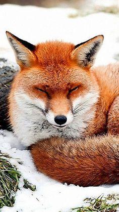 Linda....adoro raposas!