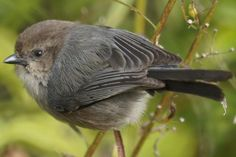 Fun and energetic, the bushtit is a plain but ambitious bird. Learn about its diet, behavior, range, voice, breeding and more.