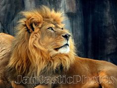 Lion Regal Pose photograph male African king of by JantasticPhotos