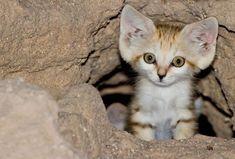 The Sand Dune Cat