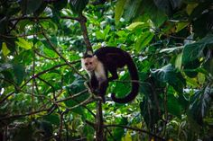 Wild Monkeys in Cahuita