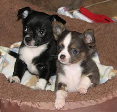 Blossom x Boogie, black and white smoothcoat chihuahua puppy and blue and tan and white chihuahua puppy