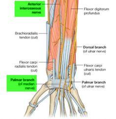 Median nerve - Flexor Retinaculum