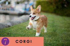 Corgi puppies breeds, Dog Breeds