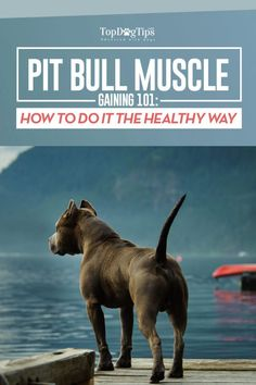 Pit Bull Puppies How to Bulk Up a Pit Bull Guide - Many people associate bulking up a pit bull with dog fighting, but there are other reasons that owners may want to beef up this naturally muscular breed. Pitbull Training, Training Your Dog, Training Tips, Training Quotes, Pitbull Facts, Dog Facts, Aggressive Dog, Dog Fighting, Bull Terrier Dog