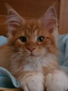 Khan Main coon <3 http://www.mainecoonguide.com/how-to-keep-a-maine-coon-growth-chart/
