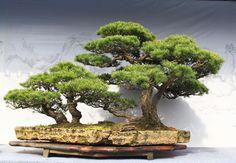 I want a bonsai tree! Pine Bonsai, Bonsai Wire, Bonsai Soil, Indoor Bonsai Tree, Bonsai Plants, Bonsai Trees, Air Plants, Cactus Plants, Garden Terrarium
