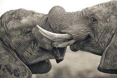 Two elephants, locking tusks | Mario Moreno.