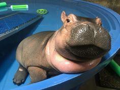 Meet the Adorable Baby Hippo Who's Become a Social Media Star