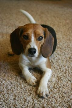 Are you interested in a Beagle? Well, the Beagle is one of the few popular dogs that will adapt much faster to any home. Art Beagle, Beagle Puppy, Cute Beagles, Cute Dogs, Raza Labrador, Pocket Beagle, Sweet Dogs, Puppy Care, Puppy Eyes