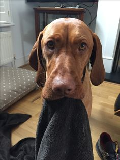 Molly the Vizsla
