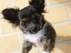 Teacup Chihuahua Puppies For Sale in New York Teacup Chihuahua Puppies, Chihuahua Rescue, Chihuahua Puppies For Sale, Chihuahuas For Adoption, Tiny Puppies, Small Dogs For Sale, Pet Dogs For Sale, Small Dog Rescue, Long Haired Chihuahua