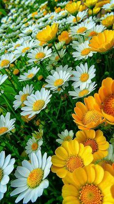 Bonitas margaritas blancas y amarillas | Pretty white and yellow daisies