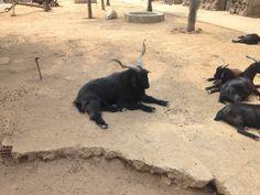 A goat level 20