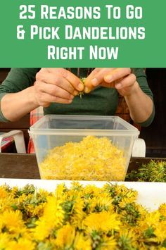 25 Reasons To Go Pick Dandelions Right Now Dandelions are absolutely everywhere right now! Here's 25 reasons you should go out and collect some. Don't forget to leave most for the bees! Healing Herbs, Medicinal Herbs, Natural Health Remedies, Herbal Remedies, Natural Medicine, Herbal Medicine, Dandelion Recipes, Cooking Recipes, Healthy Recipes