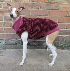 I Italian Greyhound, Greyhounds, Colourful Outfits, Boston Terrier, Cold, Animals, Boston Terriers, Animales, Animaux
