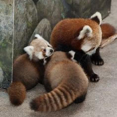Love the fluffy tails of the red panda cubs (and mother!)