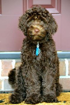 Chocolate Australian Labradoodle ...........click here to find out more http://googydog.com