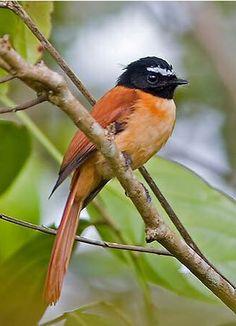 Abanico rojinegro - Black-and-cinnamon Fantail - Mindanaofächerschwanz - Rhipidure noir et roux Kinds Of Birds, All Birds, Cute Birds, Beautiful Birds, Animals Beautiful, Bird Aviary, Bird Drawings, Bird Pictures, Exotic Birds