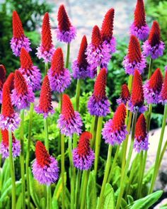 must get some more primula vialii as they appear to have all died over the winter