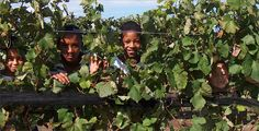 Peeking through the vines All Grown Up, Wines, Growing Up, Harvest