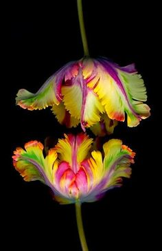 Parrot Tulips - frilly, fussy and kind of weird